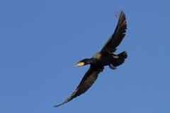 Wielki kormoran w locie Fotografia Stock