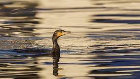 Wielki kormoranu dopłynięcie Obraz Stock