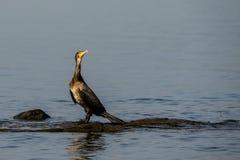 Wielki kormoranu Phalacrocorax carbo Zdjęcia Royalty Free