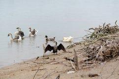 Wielki kormoranu Phalacrocorax carbo, zna? jako wielki czarny kormoran, lokacja: Antalya, Turcja zdjęcie royalty free