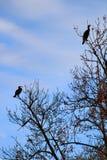 Wielki kormoranu plecy umieszczający na gałąź zdjęcie stock