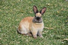 Wielki królik w trawie Zdjęcia Royalty Free