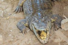 Wielki krokodyl chodzi w suszarniczy up bagno zwierząt akwarium krokodyl dziki zdjęcia royalty free