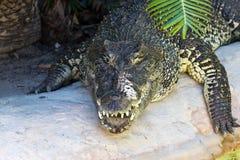 Wielki krokodyl na grasującym Obrazy Royalty Free