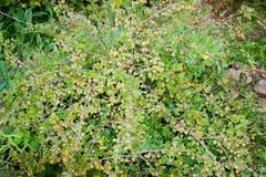 Wielki krzak z jagodami zielony agrest Obrazy Royalty Free