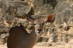 Wielki kudu Zdjęcie Stock