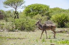 wielki kudu Zdjęcie Royalty Free