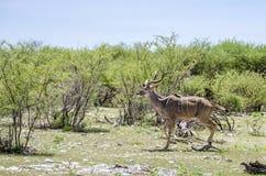 wielki kudu Fotografia Stock