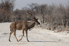 wielki kudu Zdjęcia Stock