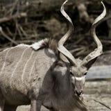 wielki kudu Obraz Royalty Free