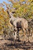 Wielki kudu, Patrzeje Z powrotem Fotografia Royalty Free
