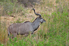 wielki kudu strepsiceros tragelaphus Obrazy Stock