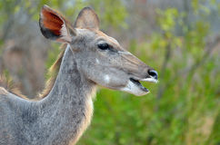 wielki kudu strepsiceros tragelaphus Obraz Stock
