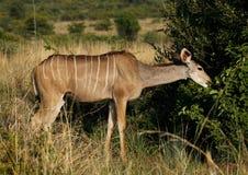 Wielki kudu, Tragelaphus strepsiceros, żeński wyszukiwać fotografia stock