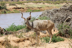Wielki kudu (Tragelaphus strepsicerus) Fotografia Stock