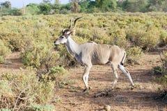 Wielki kudu (Tragelaphus strepsicerus) Obrazy Royalty Free