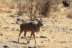Wielki kudu w sawannie w Etosha parku Namibia Fotografia Stock