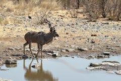 Wielki kudu w sawannie w Etosha parku Namibia Obraz Stock