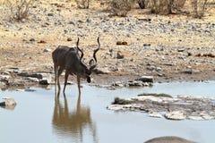 Wielki kudu w sawannie w Etosha parku Namibia Zdjęcia Royalty Free