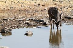 Wielki kudu w sawannie w Etosha parku Namibia Obraz Royalty Free