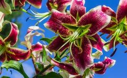 Wielki kwiatonośny lelui zakończenie przeciw niebieskiemu niebu Fotografia Royalty Free