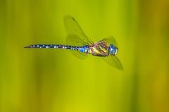 Wielki latający dragonfly Fotografia Royalty Free