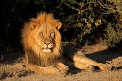 wielki lew afrykańskiego dolców Zdjęcia Royalty Free