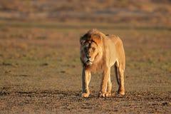 wielki lew afrykańskiego dolców Obrazy Stock