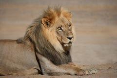 wielki lew afrykańskiego dolców Obraz Royalty Free
