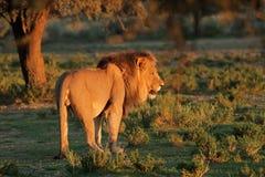 wielki lew afrykańskiego dolców Zdjęcie Royalty Free