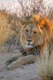 wielki lew afrykańskiego dolców Zdjęcie Stock