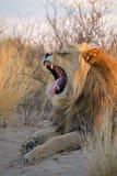 wielki lew afrykańskiego dolców Obrazy Royalty Free
