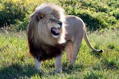wielki lew ryczący mężczyzną obraz royalty free