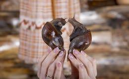 Wielki ślimaczka ahatina sercowaty dla walentynki ` s dnia Zdjęcia Stock