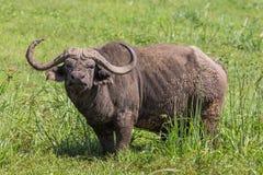 Wielki męski Afrykański bizon, Syncerus caffer, pasa Zdjęcie Stock