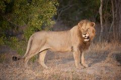 Wielki męski lew dyszy w pełnym świetle Obraz Royalty Free