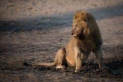 Wielki męski lew z pełnym brzucha obsiadaniem obok błotnistego basenu Zdjęcia Royalty Free
