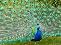 Wielki Męski paw na zielonej trawie folował upierzenie zdjęcia stock