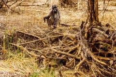 Wielki Męski pawian z Młodymi pawianami w susza dotkniętym terenie środkowy Kruger park narodowy Obrazy Stock