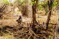 Wielki Męski pawian z Młodymi pawianami w susza dotkniętym terenie środkowy Kruger park narodowy Fotografia Royalty Free