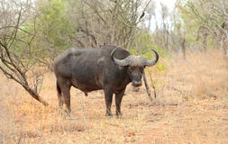 Wielki męski przylądka bizon w Kruger parku narodowym Fotografia Royalty Free