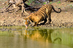 Wielki męski tygrys pije od błotnistego jeziora Zdjęcia Royalty Free
