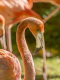 Wielki męski flaming (Phoenicopterus ruber) Zdjęcie Royalty Free