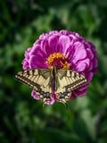 Wielki machaon motyl siedzi na magenta cynia kwiacie Papilio machaon starego światu swallowtail, jest motylem obraz royalty free