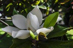 Wielki magnoliowy kwiat obrazy stock