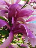 Wielki magnoliowy kwiat Zdjęcia Royalty Free