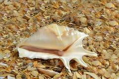 Wielki morski mollusk skorupy Lambis lambis Obrazy Royalty Free