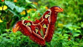 wielki motyl Zdjęcie Royalty Free