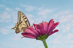 Wielki motyl siedzi na magenta cynia kwiacie Papilio machaon starego światu swallowtail, jest motylem fotografia royalty free
