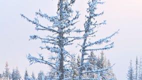 Wielki nieżywy śnieżny świerkowy drzewo w zimie zbiory